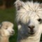 cutest animal 7 Alpaca