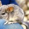 cutest animal 10 Chinchilla