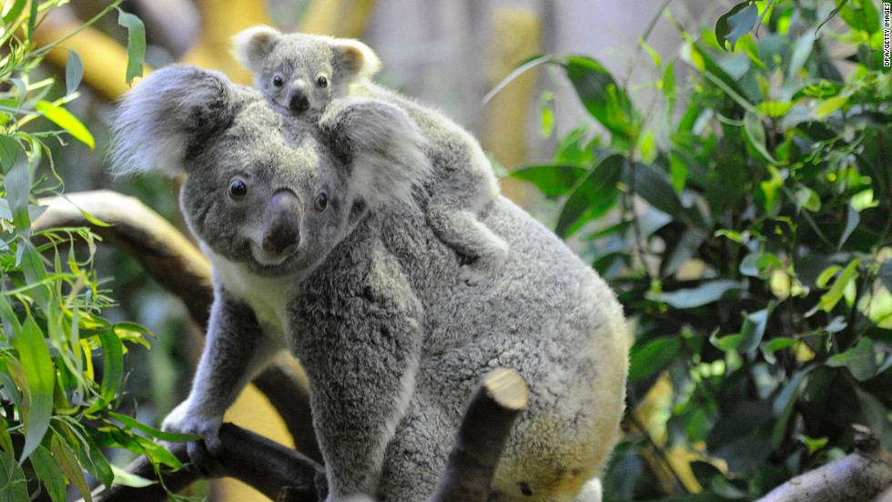 The koala's enduring popularity proves that, as with most of our infatuations, good looks can blind us to severe personality flaws.