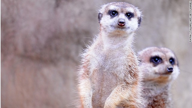 No meerkat is ever accused of bad posture.
