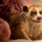 cutest animal 18 slow loris