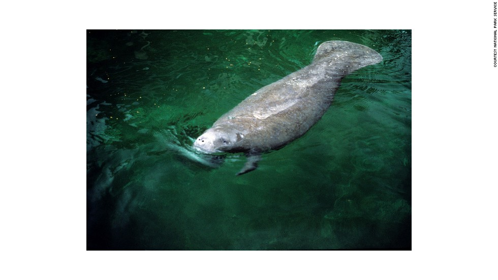 Florida manatees, a subspecies of the endangered West Indian manatee, are primarily herbivores, prefer shallow water and normally surface every five minutes to breathe.