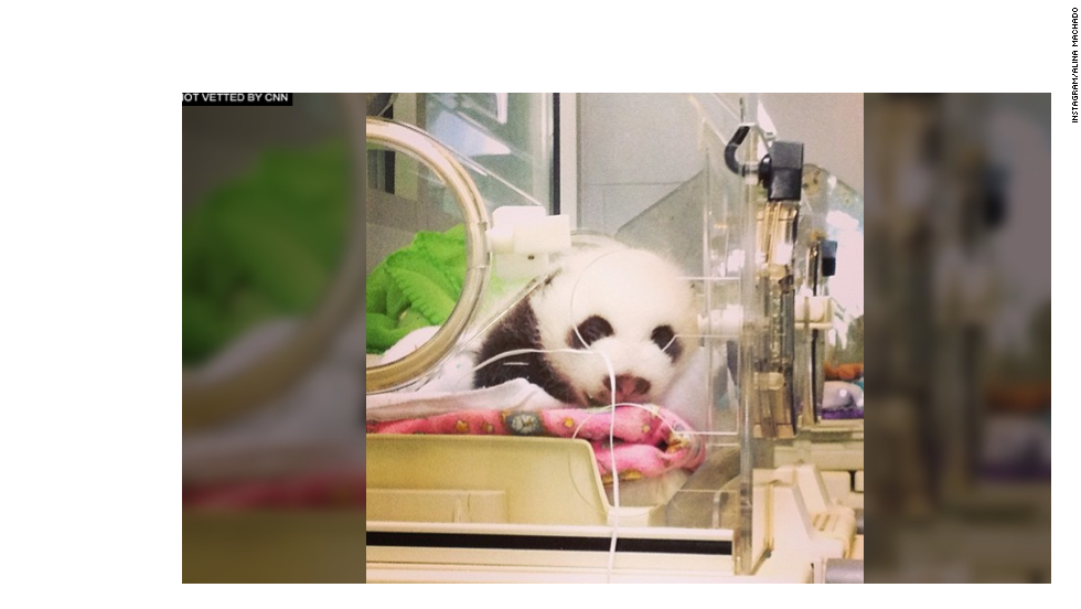 "Panda ""A"" snoozes away after his exam. The cubs are kept at about 78 degrees inside the incubator when not with their mother, much lower than the 98 degrees they were kept in when they were first born."