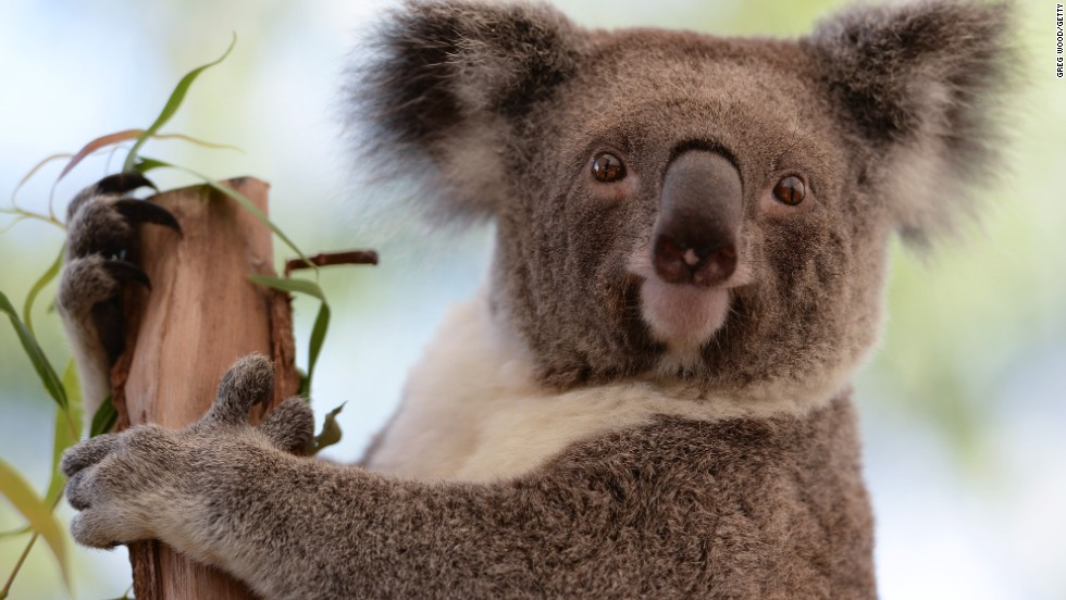 Life is difficult for koalas. Imagine if you spent most of your life drunk in a tree. Hey, just messing with you, koalas. You're extremely cute.