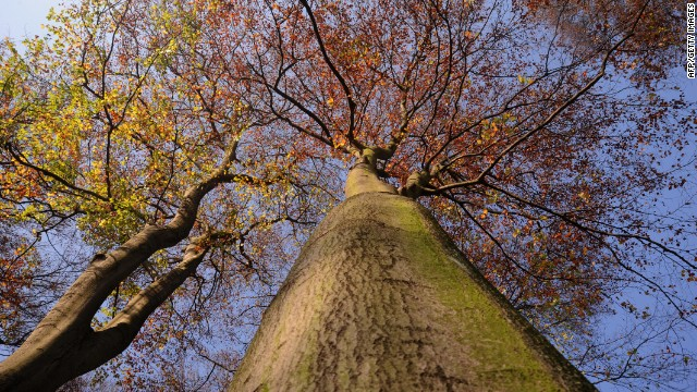 Trees pictured on November 8, 2011 in a forest near Essen, western Germany.