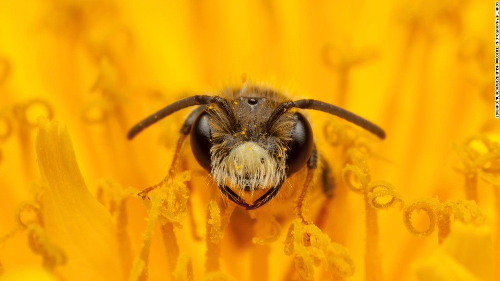 """Fine and Dandy"" -- mining bee, Melton Mowbray. Photograph by Edward Nurcombe. Highly commended in the category hidden Britain."