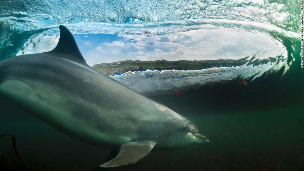 """""""In The Living Room"""" -- bottlenose dolphin, Bolintoy, near The Giant's Causeway, Northern Ireland. Photograph by George Karbus. Overall winner."""