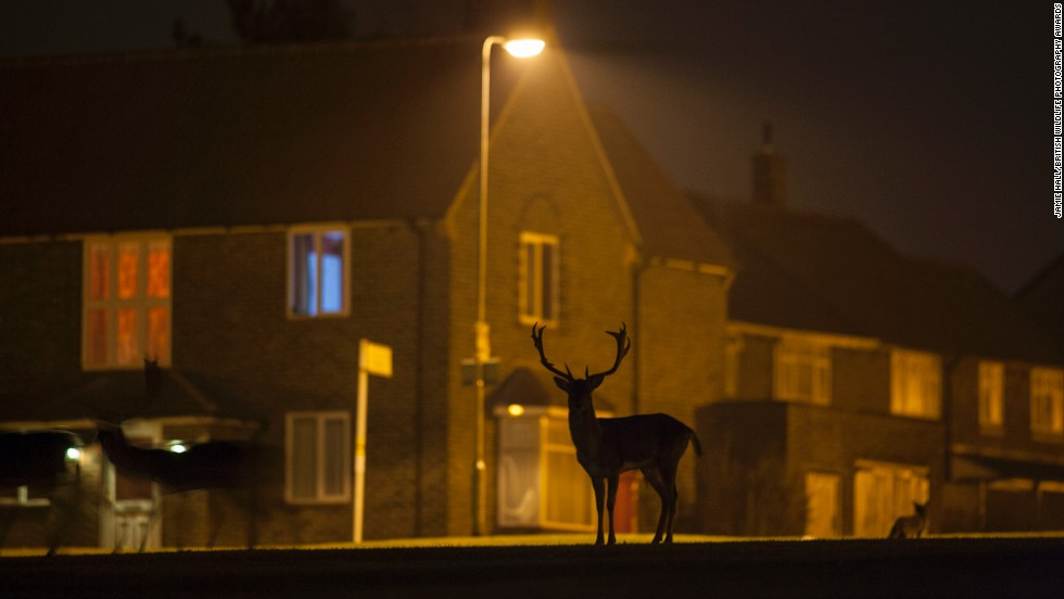 """Urban Fallow Deer on Housing Estate"" -- fallow deer, North London. Photograph by Jamie Hall. Winner in the category urban wildlife."