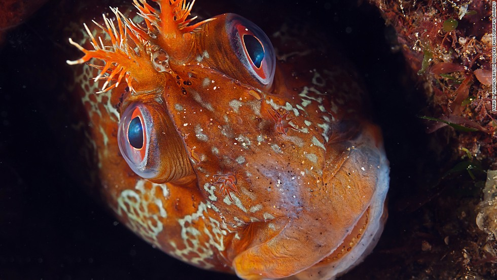 """Tommy"" -- tompot blenny, Trefer Pier, Gwynedd, North Wales. Photograph by Mark N. Thomas. Winner in the category animal portraits."