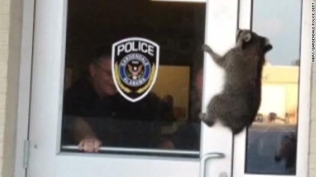 pkg raccoon falls through ceiling_00005327.jpg