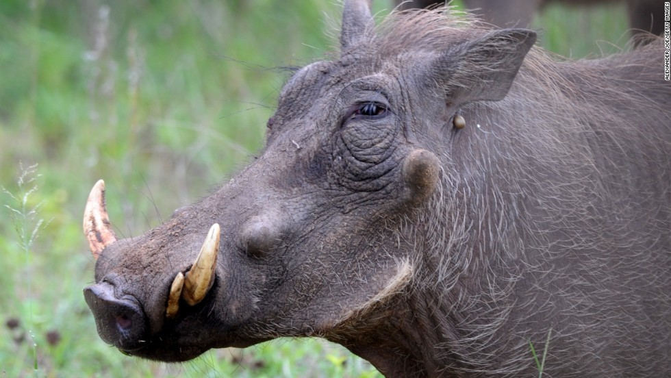 Found throughout sub-Saharan Africa, the warthog is like a weird assemblage of other animals' parts. Surely only its own mother could love it ... but even then.
