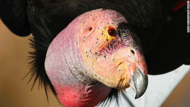 Though critically endangered, the condor can still be seen in the wild.