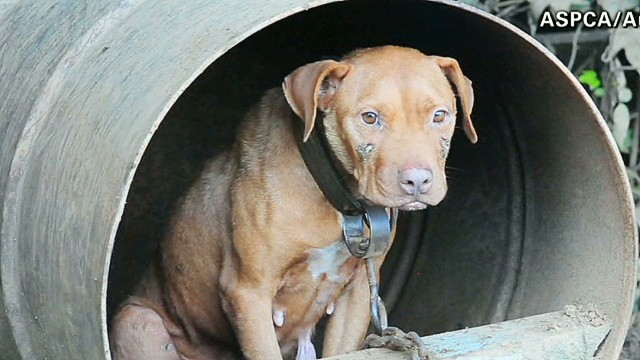 Rescued dogfighting pups get TLC
