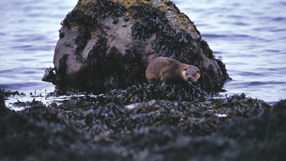 You can spot shy otters -- as well as minke whale, dolphins and porpoise -- around the Isle of Mull.