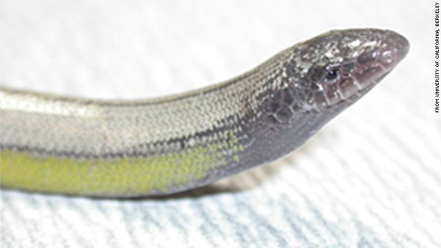 Legless lizards found in California