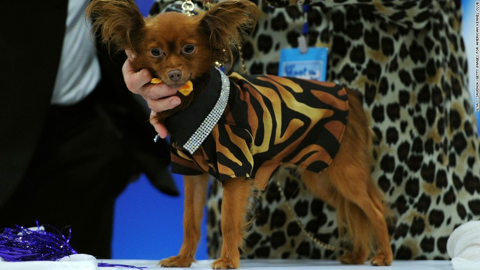 """A Russian toy dog wears an """"Ada Nieves for Pets"""" zebra print unisex shirt with rhinestone collar."""