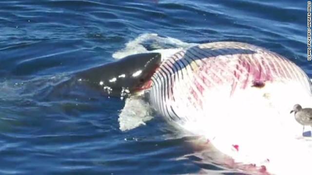 vo whale carcass eaten by sharks_00004614.jpg