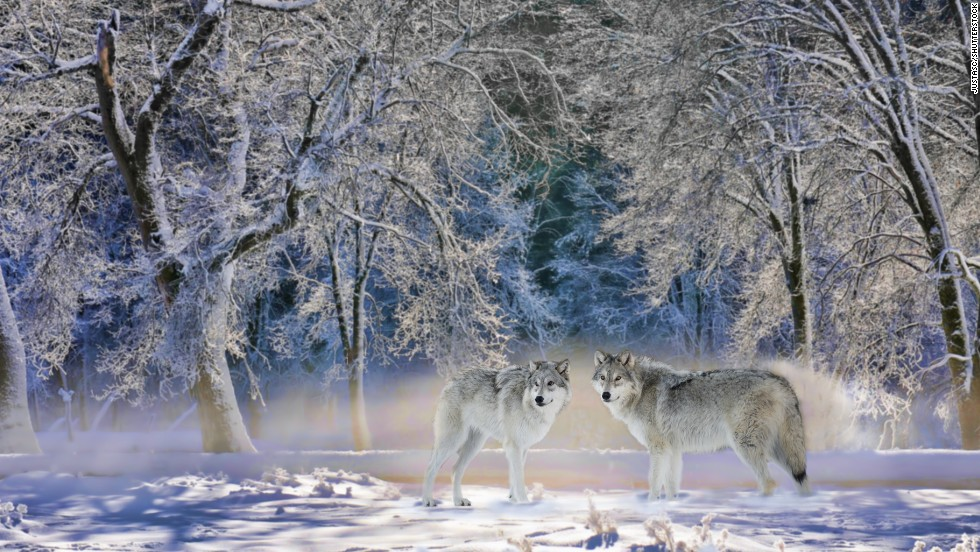 Hire guides to help you track wolves during the freezing cold winter at Yellowstone National Park.
