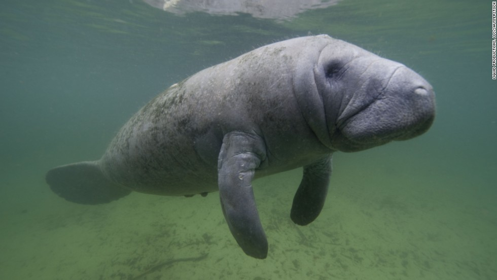 The largest purported herd of manatees in the United States descends each winter on Florida's Three Sisters Springs' 72-degree waters.