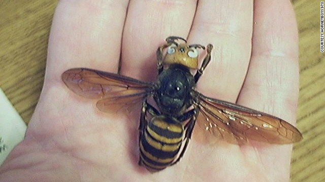 The Asian giant hornet has a venom that destroys red blood cells.
