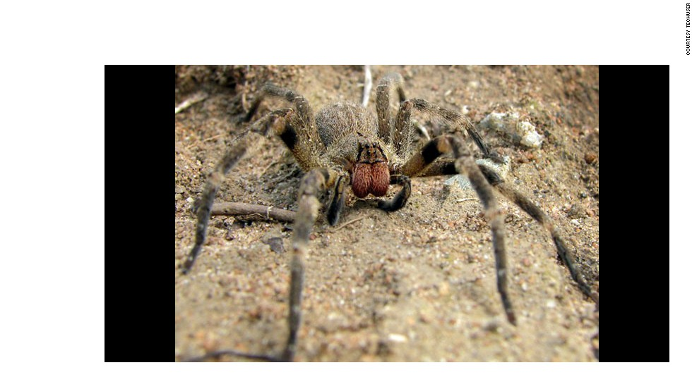 "As one of the most venomous and dangerous spiders in the world, the Brazilian ""wandering spider,"" or ""banana spider,"" possess venom that can cause long-lasting priapism in men."