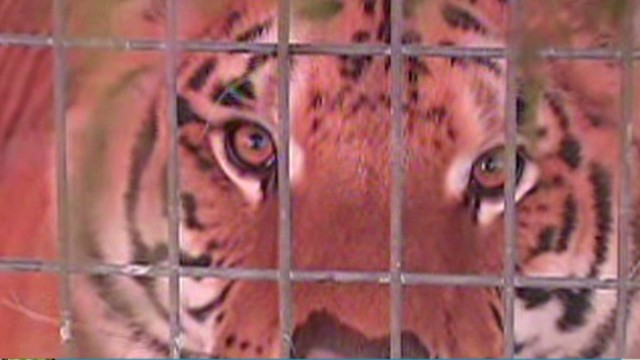 Tiger mauls woman's arm