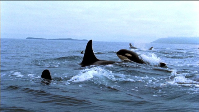 'Blackfish': Killer whale capture