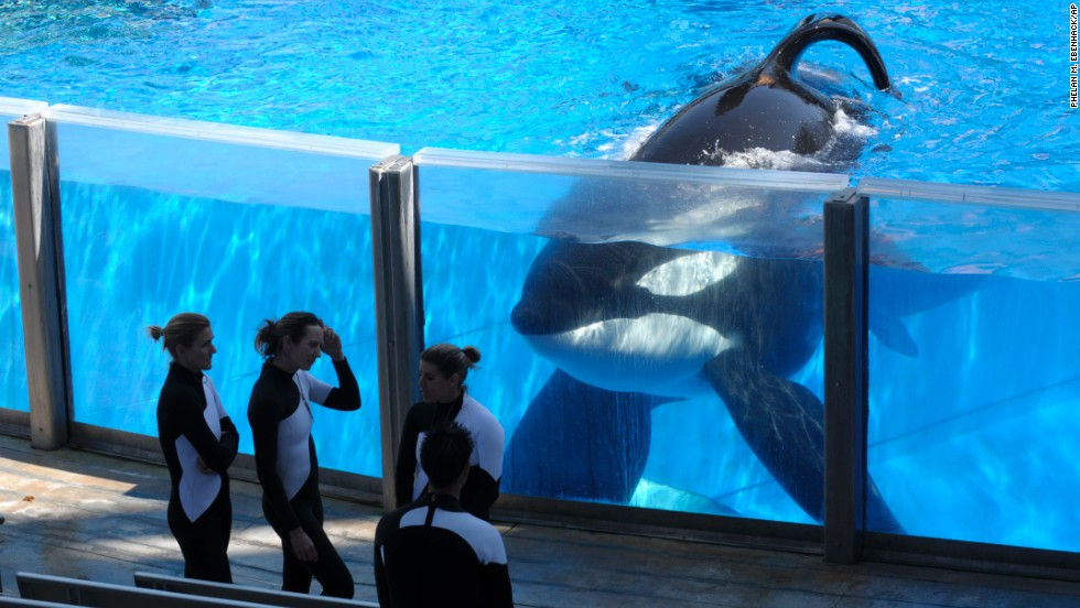 "Killer whale Tilikum watches as SeaWorld Orlando trainers take a break during a training session in March 2011.   In an effort to unravel what happened between the 12,000-pound Tilikum and the late Dawn Brancheau, filmmaker Gabriela Cowperthwaite made ""Blackfish"" which debuted at the Sundance Film Festival in 2013.  The film raises a number of questions, not the least of which being whether killer whales have any place in theme parks."