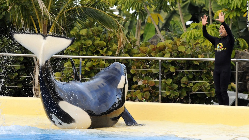 This female killer whale, Morgan, was taken in by a Dutch dolphinarium after being found starving in the shallow waters of the North Sea off the Netherlands coast.  She is now performing at Loro Parque in Spain's Canary Islands -- despite an agreement that she would be released into the wild after her rehabilitation.  Animal rights activists have mounted a legal challenge for her release.