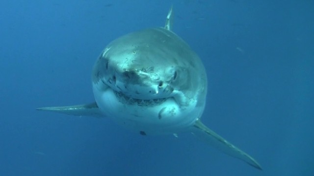 Watch dramatic shark capture