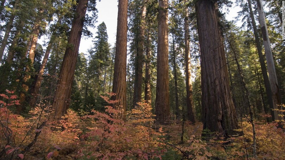 California's giant sequoias reign at Calaveras Big Trees State Park.