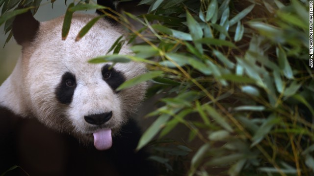 EDINBURGH, SCOTLAND - FEBRUARY 20: Yang Guang feeds on bamboo as he bulks up for the breeding season with partner Tian Tian on February 20, 2013 in Edinburgh, Scotland. Experts at Edinburgh Zoo have announced they expect the giant panda breeding season may be earlier this year, as both Tian Tian (Sweetie) and Yang Guang (Sunshine) have already started to show important changes in their behavior that indicate that they will soon be ready to mate, speculating in four weeks time. (Photo by Jeff J Mitchell/Getty Images)
