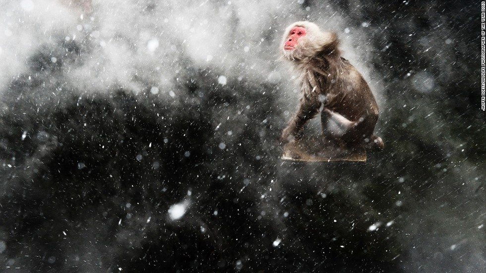 "<strong>Snow moment</strong><br />by Jasper Doest (The Netherlands)<br /><em>photo courtesy Jasper Doest/Wildlife Photographer of the Year 2013</em><br /><br /><em><a href=""http://www.nhm.ac.uk/visit-us/whats-on/temporary-exhibitions/wpy/index.jsp"" target=""_blank"">49th Wildlife Photographer of the Year</em></a><em>, Natural History Museum, Cromwell Road, London; +44 20 7942 5000; October 18, 2013 - March 23, 2014, 10 a.m.-5:50 p.m. (last admission 5:15 p.m.); £12 for adult</em>"