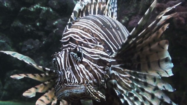 Lionfish invasion in the Atlantic Ocean