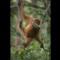 09 orangutan endangerment