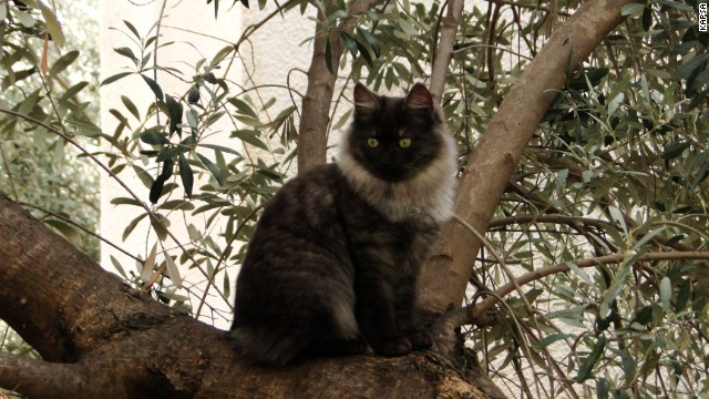 Altitude-seeking: Maybe this Kalkan cat hasn't been neutered yet.