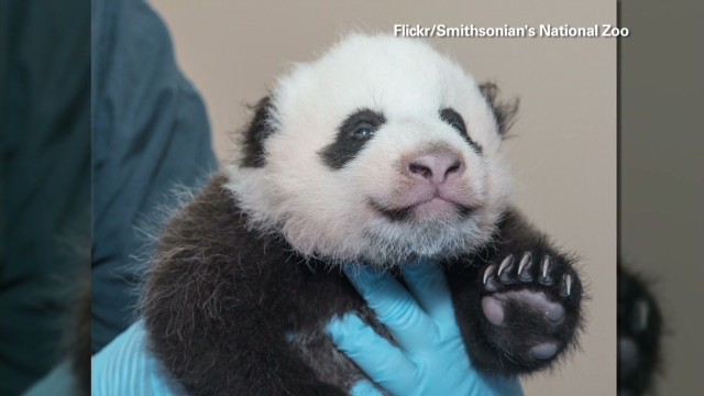 National Zoo's panda gets first shot