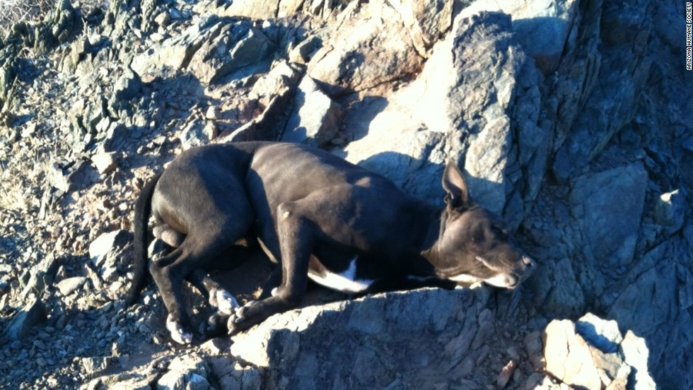 Andi Davis carried an injured pit bull half a mile after finding him abandoned on a hiking trail