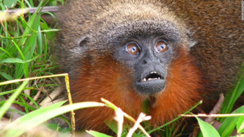 Callicebus caquetensis -- About 20 species of titi monkeys live in the Amazon basin. The newly discovered species purrs like a cat.