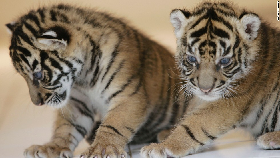 Two 26-day-old endangered Sumatran Tiger cubs play together at the 'Taman Safari Indonesia' Animal Hospital, West Java, Indonesia.