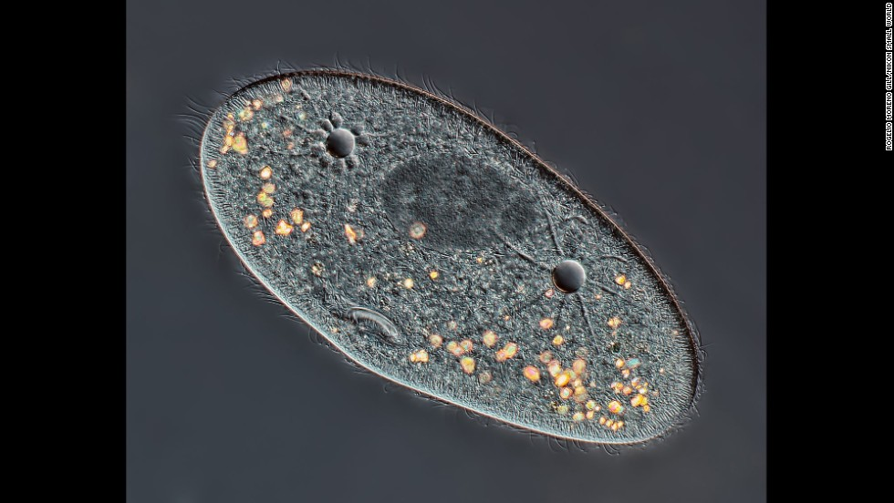 Mr. Rogelio Moreno Gill; Paramecium sp. showing the nucleus, mouth and water expulsion vacuoles