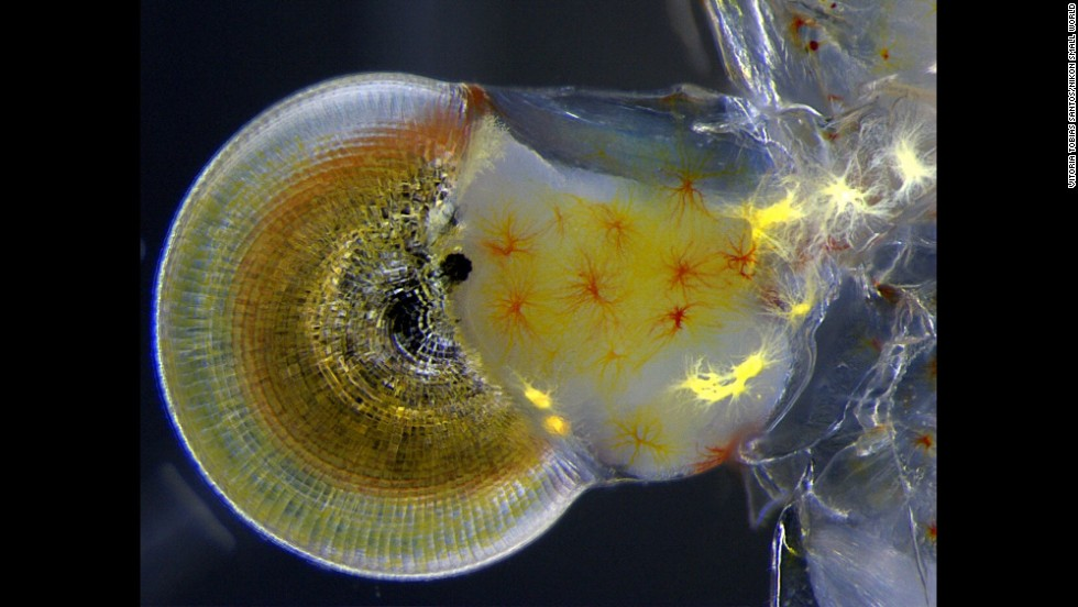 Miss Vitoria Tobias Santos; Universidade Federal do Rio de Janeiro, Rodrigo Evo Devo Group; Macrobrachium shrimp (ghost shrimp) eye