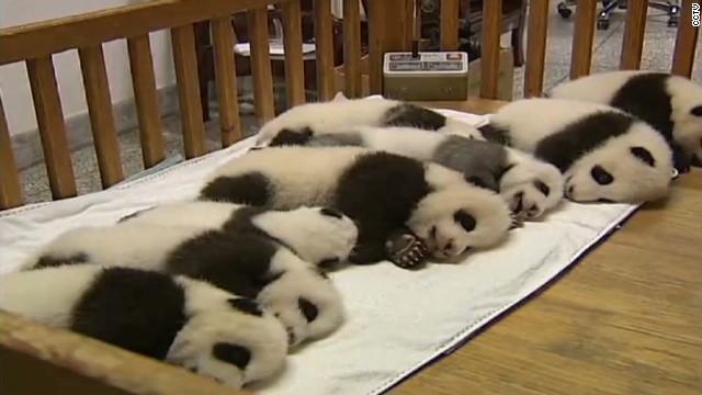 vo china 14 baby pandas_00004218.jpg