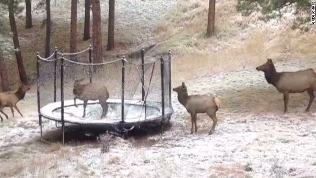 orig distraction elk on trampoline_00001120.jpg