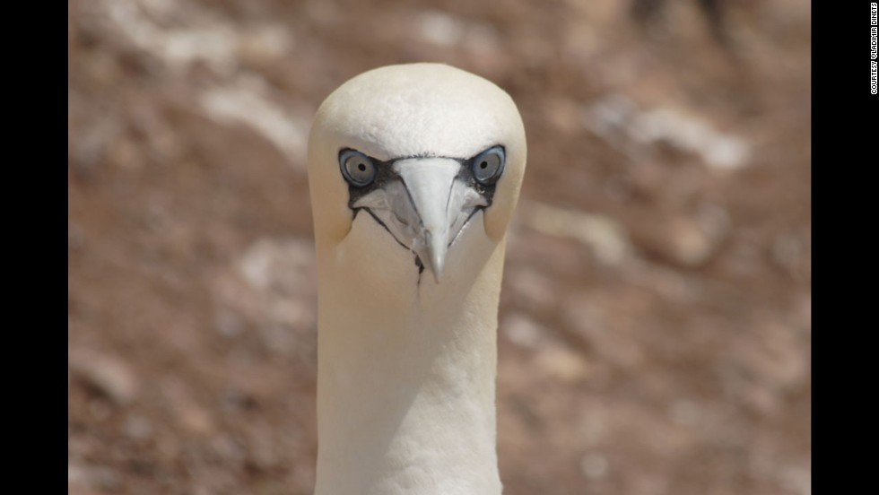 This stunning part of the North American continent is a place where visitors can observe giant Greenland sharks, pet a seal pup, or watch a huge gannet colony at arm's length. A Northern gannet is shown here.