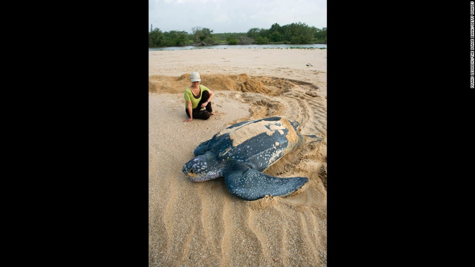 A leatherback turtle goes to sea after burying eggs at the Matapica National Park. They are named for their shell, which is leather-like rather than hard. They are the largest sea turtle species and also one of the most migratory, crossing both the Atlantic and Pacific oceans. Although their distribution is wide, the number of these turtles has seriously declined during the past century as a result of intense egg collection and fisheries bycatch.