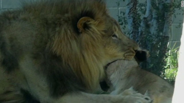 Lion kills a lioness at Dallas Zoo