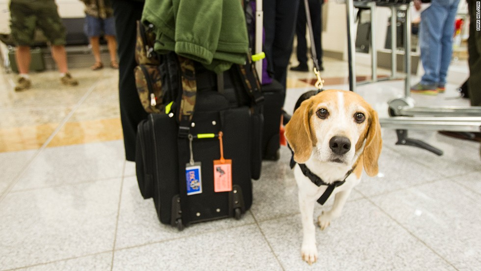 A beagle named Vince helps customs officers with inspections.