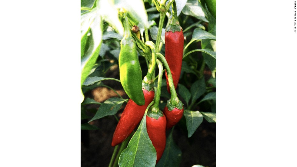 Christopher Columbus discovered the paprika pepper on his journeys around central America. Hungarians regard this as his most important achievement.