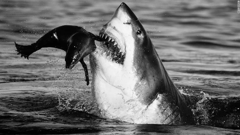 "This photograph of a shark feeding on a baby seal was the result of 30 unsuccessful hours of lying face down on a boat. ""The belief that you'll (get the shot), to never give up, is important,"" says Yarrow."